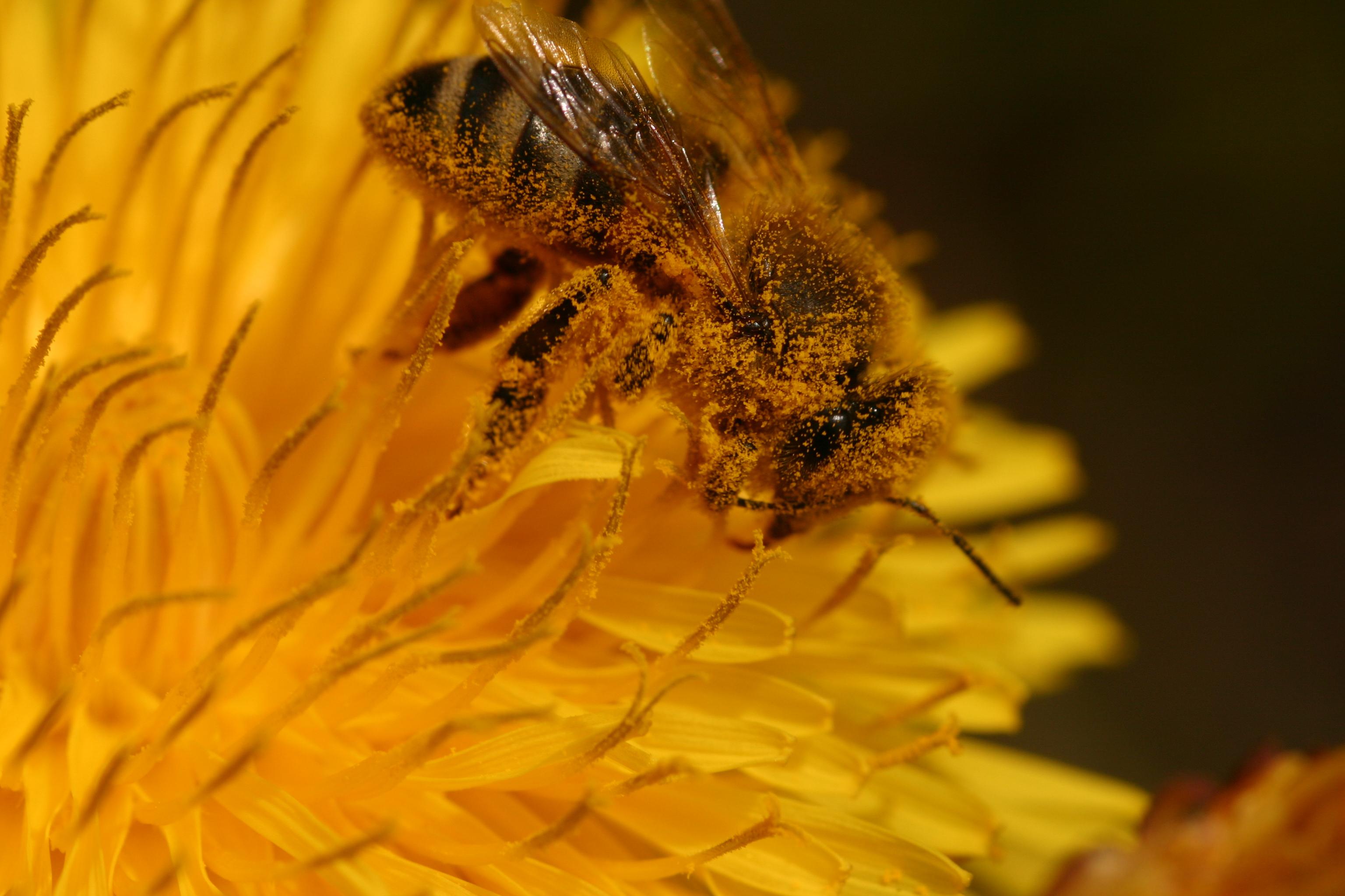 disparition des abeilles causes et cons quences. Black Bedroom Furniture Sets. Home Design Ideas