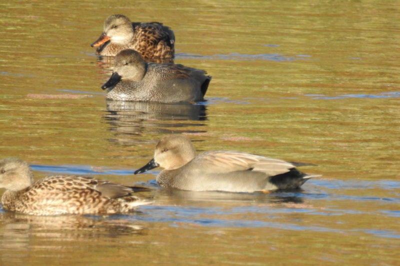 Couples de canards chipeau
